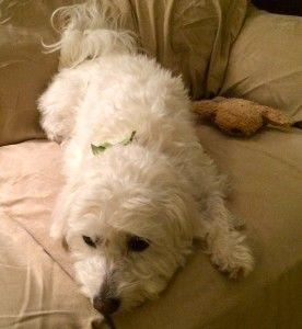 Dog in Pain: 1 Magic Herb Can Stop Chronic Inflammation