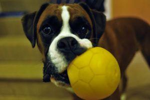 3 Tips To Teach Your Boxer To Play F