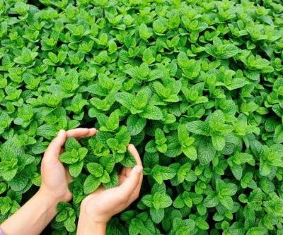 The herbs around your house and in your garden that could save you a trip to the doctor