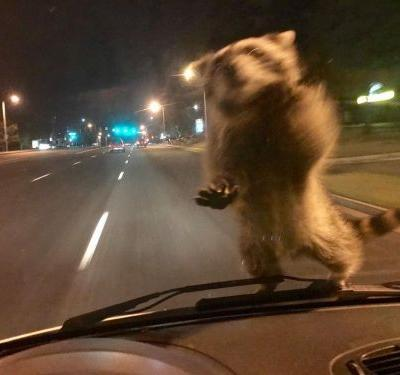 Raccoon Ride Along: Surprise visitor lands on officer's windshield