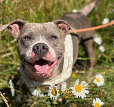 """""""MAXINE"""" sweetie young Pitbull - needs TLC - Tillamook County Animal Aid Rescue"""