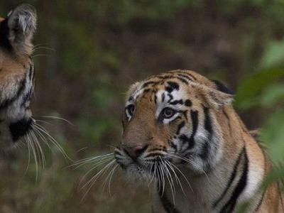 Doubling tiger population by 2022 not biologically realistic