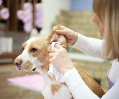 Wondering How to Clean Your Dog's Ears? A How-To Guide