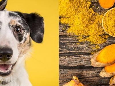 Turmeric for Dogs: Top 5 Turmeric Benefits for Dogs