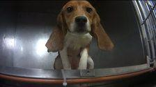 Beagles Force-Fed Fungicides In Lab Are Set To Be Released For Adoption
