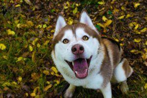 18 Awesome Gift Ideas For The Husky Lover In Your Life