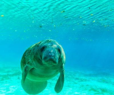 What lies beneath: Swimming with manatees in the Crystal River, Florida