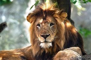 Lioness at zoo kills father of her cubs in attack