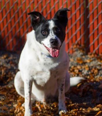 """BOOGIE"" playful but easy going too - Border Collie mix"