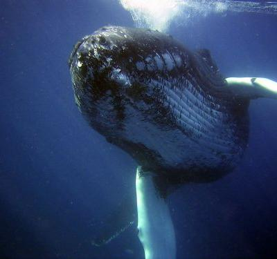 Maine whale biologist says whale protected her from shark