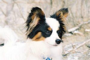 Giving This To Your Papillon Daily Could Help Alleviate Painful Skin Allergies