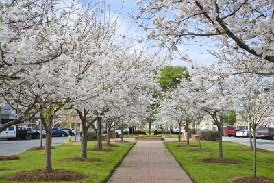 An unassuming city in Georgia is the best place in the world to see cherry blossoms