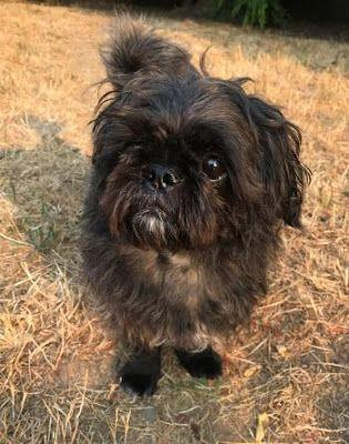"""GROMMET"" terrier/shih tzu mix in foster"