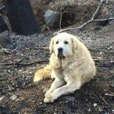 1 Couple Returned to the Remains of Their Home After CA Fire to Find Their Dog Waiting For Them