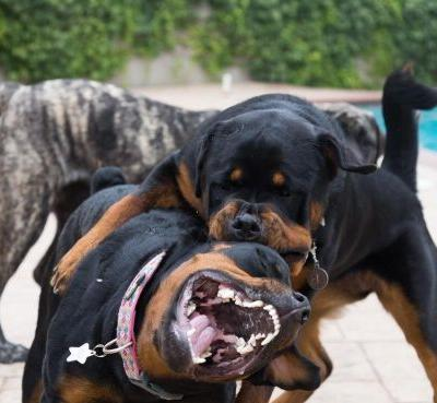 How To Stop Your Rottweiler From Unnecessary Biting?