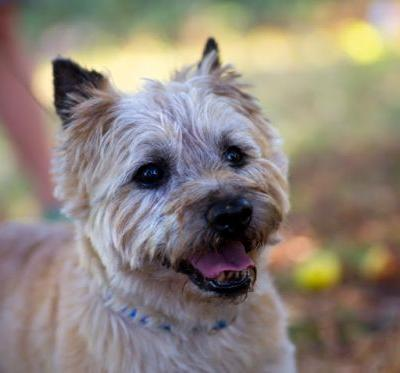 """RALPHY"" mellow Cairne Terrier mix"