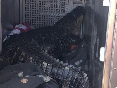 Massive alligator seized during eviction gets testy at animal rescue center