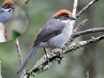 In Colombia, A Sunday Bird Walk Turns Up a Species Thought Extinct