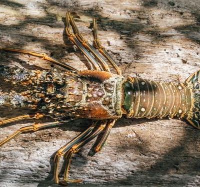 """""""Taste Your Caribbean"""" Campaign Working to Protect the Spiny Lobster"""