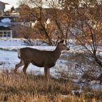 Making Peace with Urban Deer
