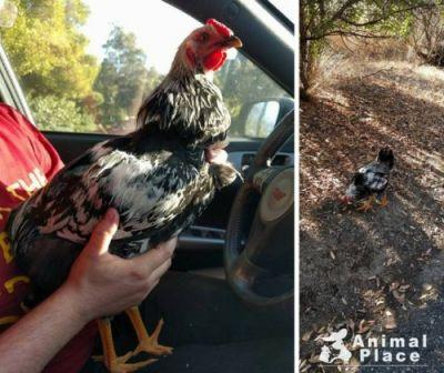 Meet Ira! Born a rooster instead of a hen, Ira was dumped at a