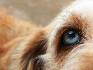 """""""Oriental Eye Worm"""" Is Becoming Increasingly Widespread In Dogs In Europe"""
