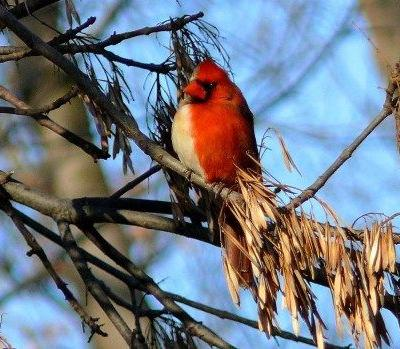 Half Female Half Male Cardinal