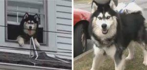 """""""4-Legged Houdini"""" Escapes Onto Roof Twice In One Hour"""