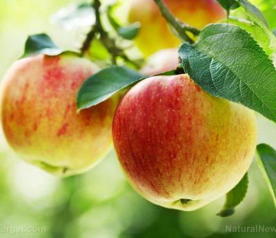 Apple extract can promote stem cell regeneration and help maintain homeostasis