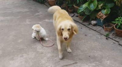 Helpful Golden Retriever Takes Shih Tzu For Walkies