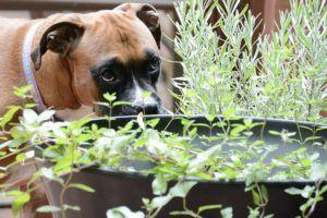 4 Things To Do When Your Boxer Is Stressed