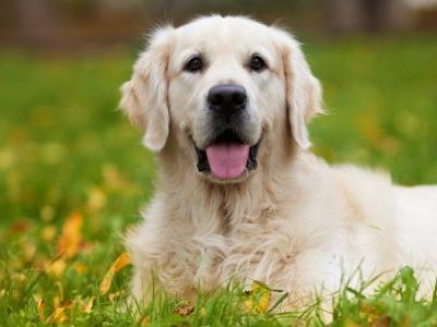 What's The Difference Between A Labrador Retriever And A Golden Retriever?