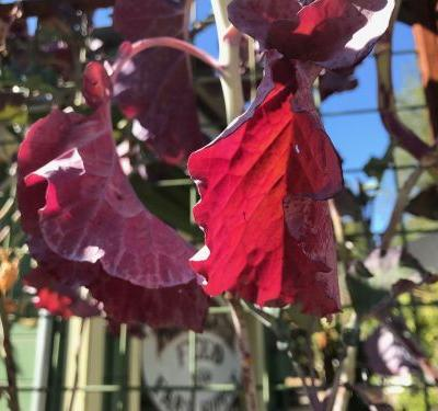 Garden Notes October 2018: Savored Sweetness and a Magenta Octopus