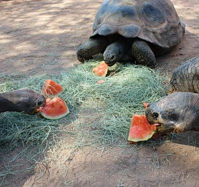Conservation Connection: Tortoises. GIANT Tortoises