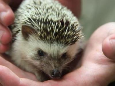 Don't snuggle your hedgehogs: CDC says 11 reported cases of salmonella linked to the pets