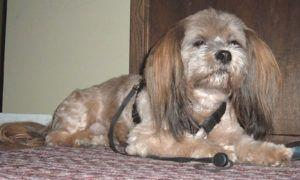 3 Amazing Ways To Honor A Lhasa Apso Who Passed Away