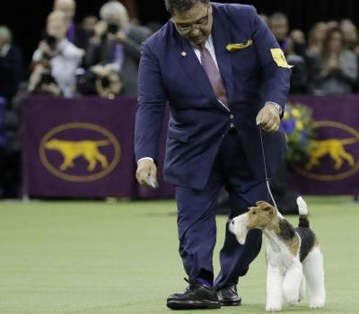 Wire fox terrier crowned best in show at Westminster