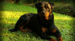 Improve Your Rottweiler's Skin & Coat With This One Simple Hack