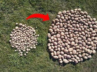 How to grow a stunning potato crop and avoid psylid