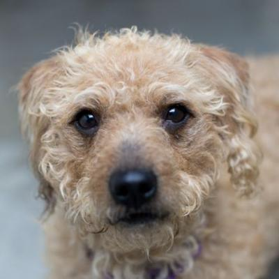 """""""SPARKY"""" and """"VENUS"""" bonded pair! poodle/terrier type and Ball loving Lab"""