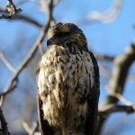 Maine's Great Black Hawk - Rescued!