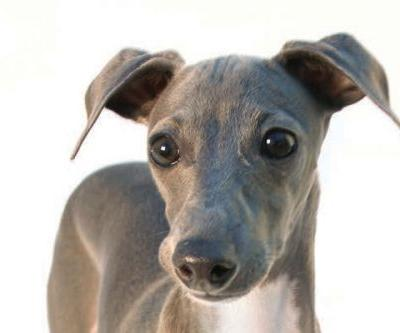 8 Facts About the Italian Greyhound