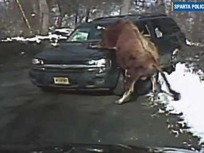 Woman seriously injured after being attacked by 'highly aggressive' loose bull