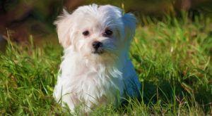 Improve Your Maltese's Skin & Coat With This One Simple Hack