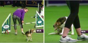 Adorably Distracted Beagle Steals The Show At Westminster Agility Competition