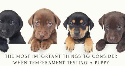 The Most Important Things to Consider When Temperament Testing a Puppy