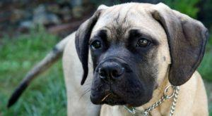 Improve Your Bull Mastiff's Skin & Coat With This One Simple Hack