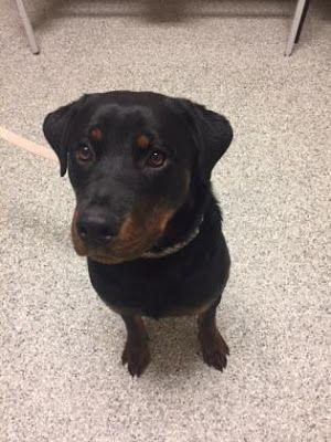 Adoption Monday: Tori, Rottweiler, Bowmanville, ON
