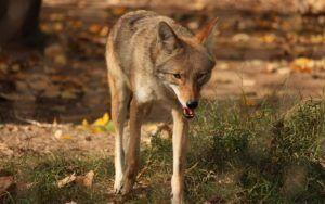 The First 15 Seconds Of A Coyote Attack Are Critical - Here's How To Protect Your Dog
