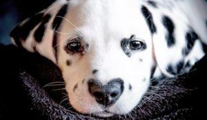 Adorable Spotted Puppy Wears His Heart On His. Nose!